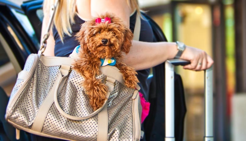 Best Dog Travel Tips,miniature poodle,bag,carrier